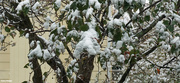 19th Oct 2020 - Oct snow on the crableapple