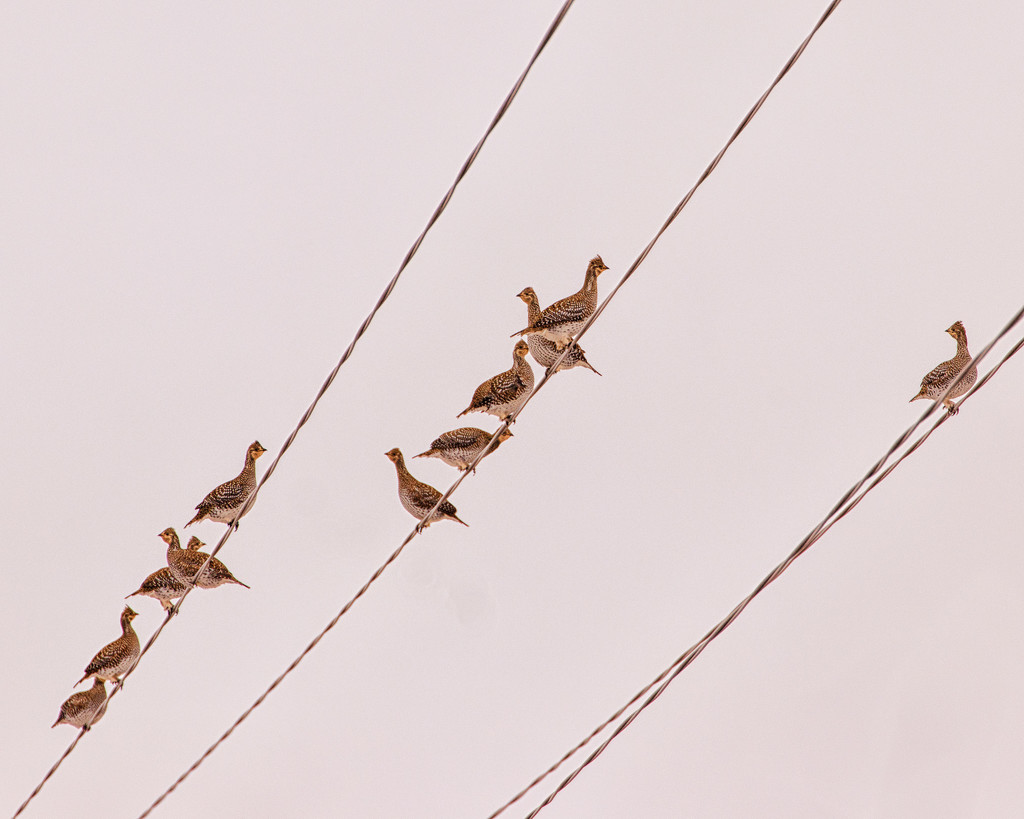 grouse on the lines by aecasey