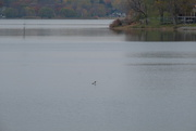 19th Oct 2020 - Young Loon