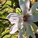White magnolia two