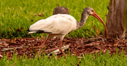19th Oct 2020 - The Ibis were Out in the Neighborhood!