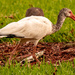 The Ibis were Out in the Neighborhood!