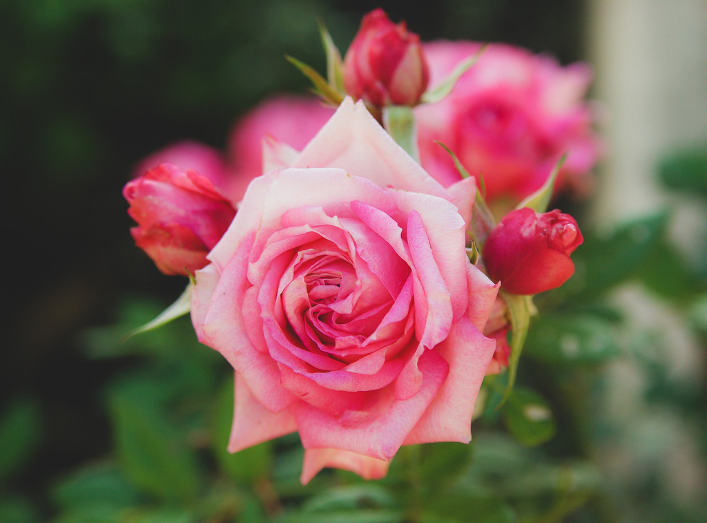 (Day 248) - Rose & Triplets by cjphoto