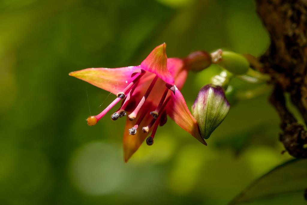 New Zealand native fuschia flower by maureenpp