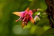 20th Oct 2020 - New Zealand native fuschia flower