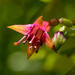 New Zealand native fuschia flower