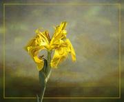 20th Oct 2020 - Water Iris