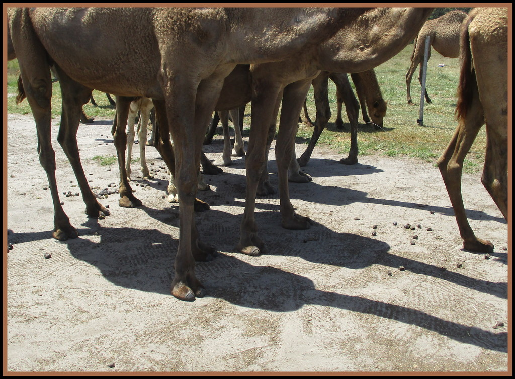 Just for something different Camel legs & shadows by 777margo