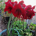 October Lily - Hippeastrum flowers
