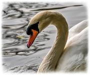 20th Oct 2020 - Swan Beauty