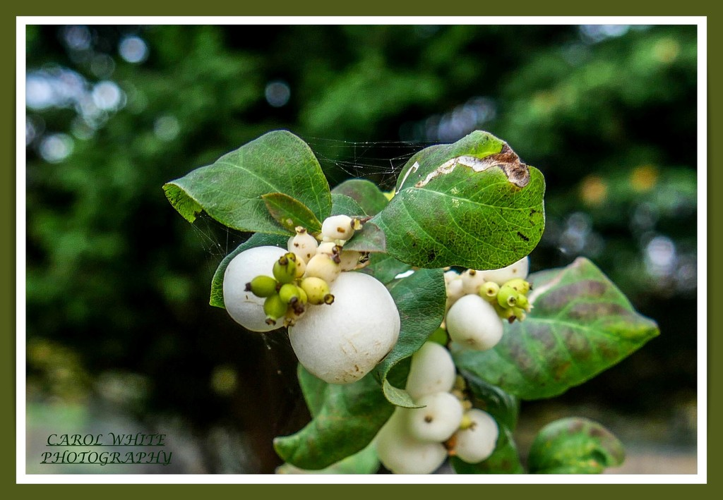 Snowberries by carolmw