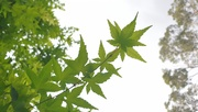 20th Oct 2020 - Maple leaves