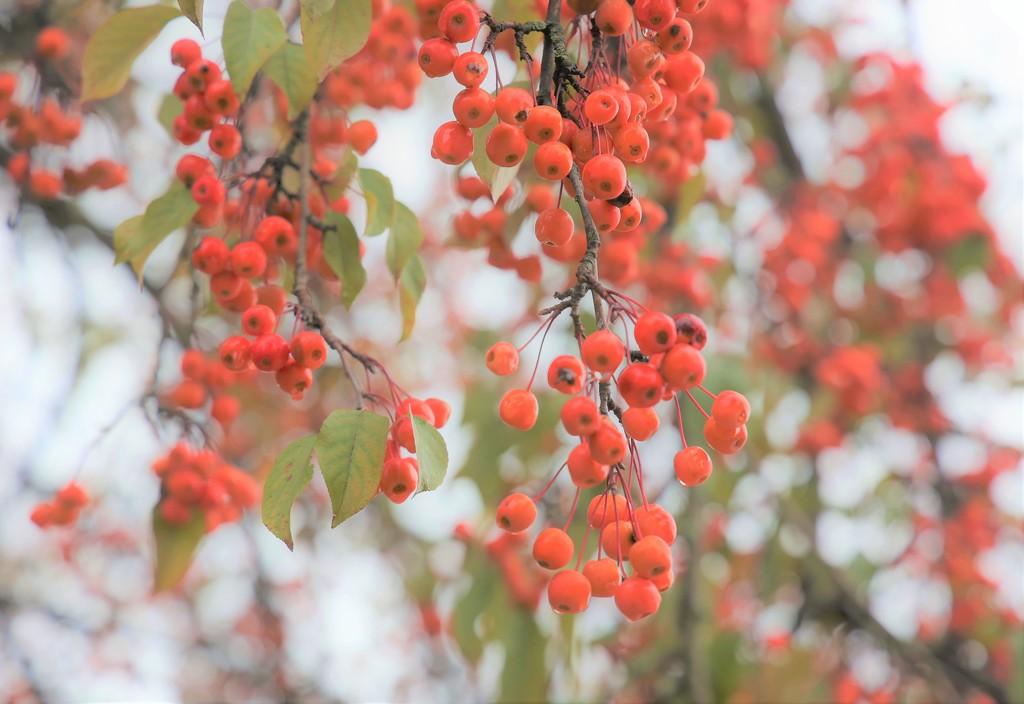Berry Tree by lynnz