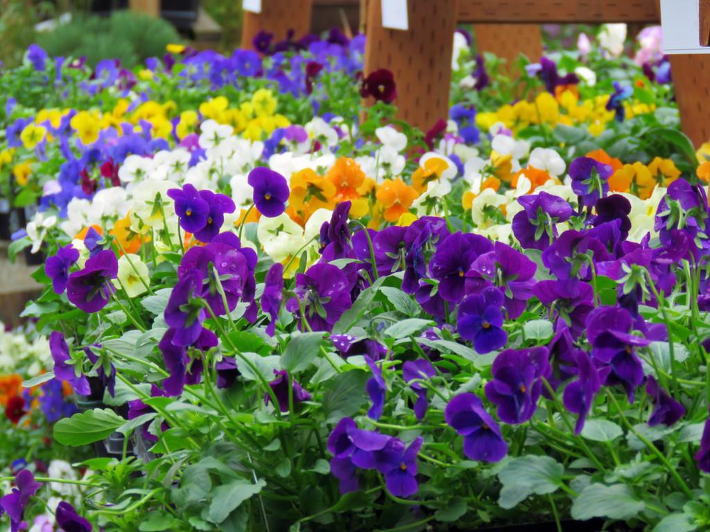 Violas and Pansies by seattlite