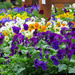 Violas and Pansies
