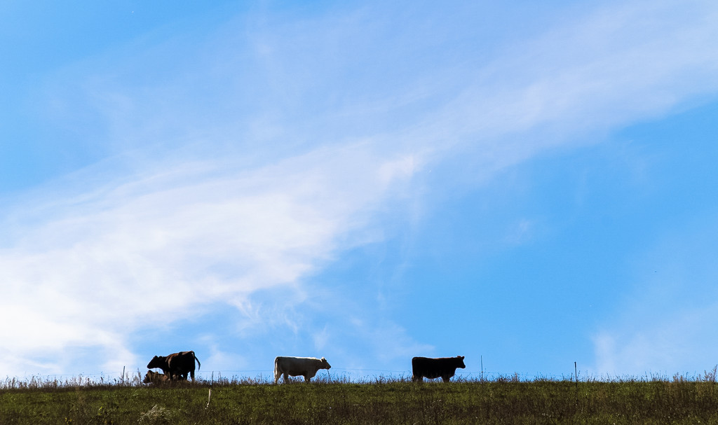 Cows by mittens