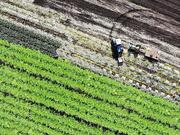 20th Oct 2020 - Holland Marsh Harvest Time