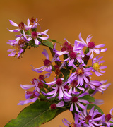 20th Oct 2020 - Drummond's asters