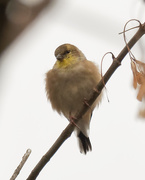 20th Oct 2020 - American Coldfinch