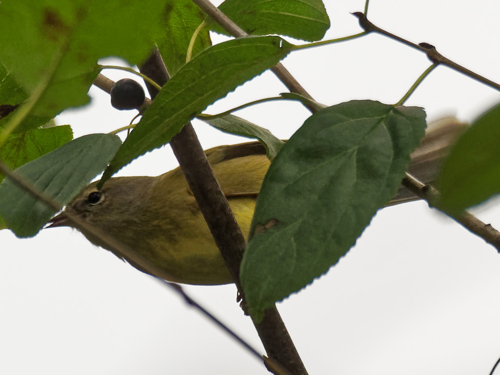 Orange-crowned Warbler by rminer