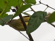 20th Oct 2020 - Orange-crowned Warbler