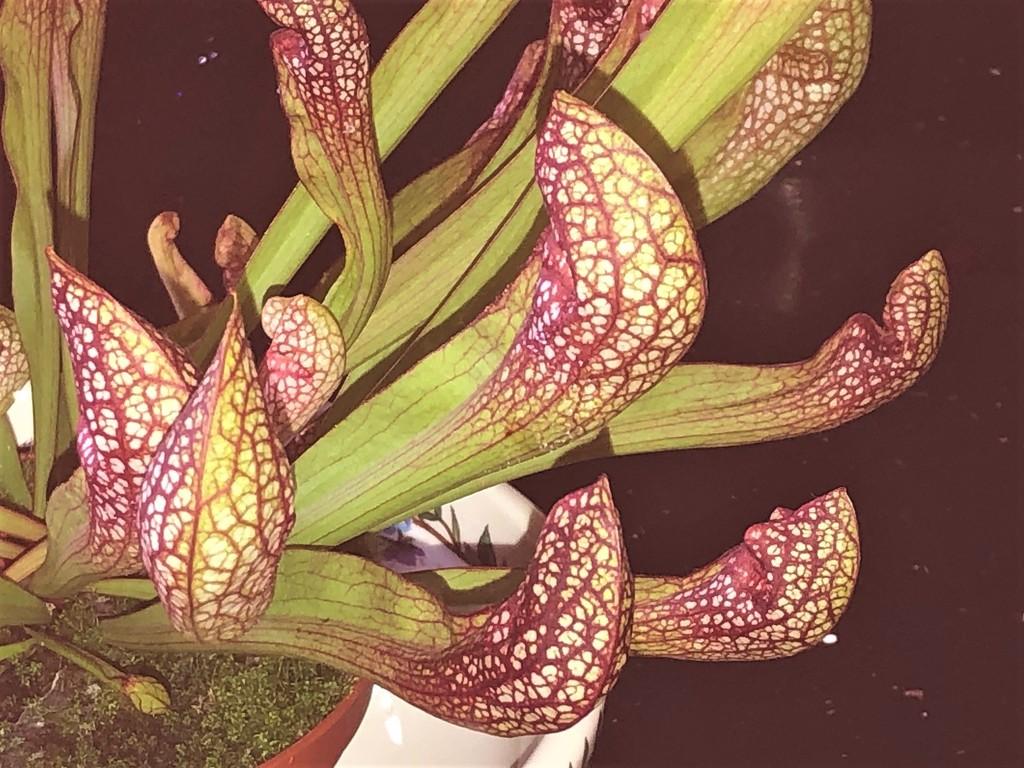 Pitcher Plant  by susiemc