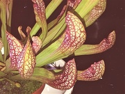 20th Oct 2020 -  Pitcher Plant