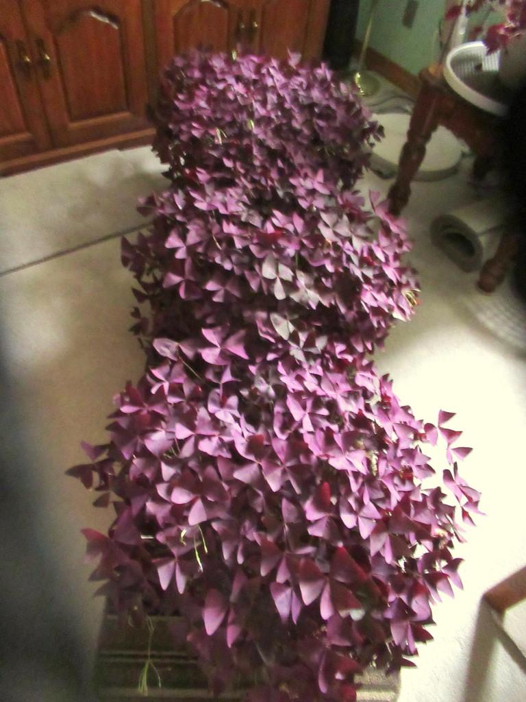 A story of one tiny purple Irish Shamrock by bruni