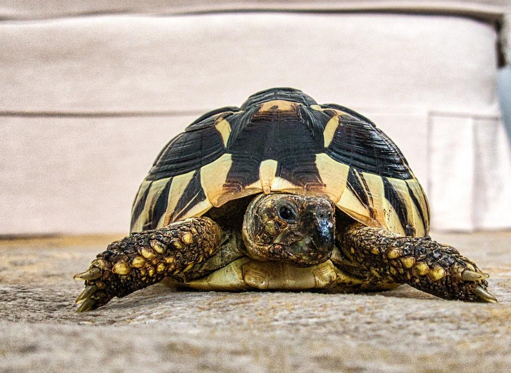 Granddaughters Tortoise by tonygig