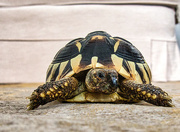 20th Oct 2020 - Granddaughters Tortoise