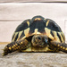 Granddaughters Tortoise