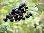20th Oct 2020 - Funny coloured berry!