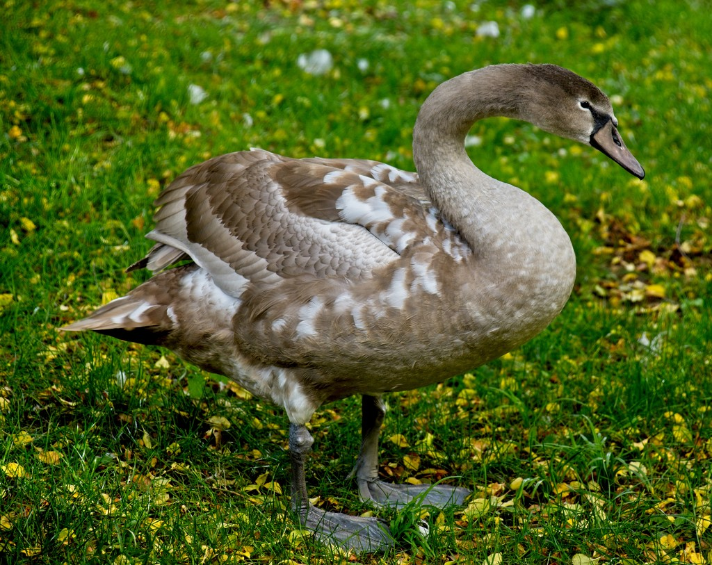 Grey Swan by stevehurst