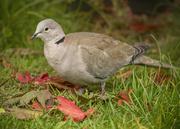 20th Oct 2020 - dove