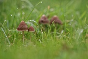 20th Oct 2020 - Four Toadstools