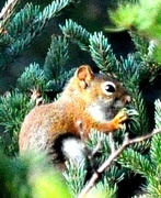 20th Oct 2020 - Cute little red squirrel.