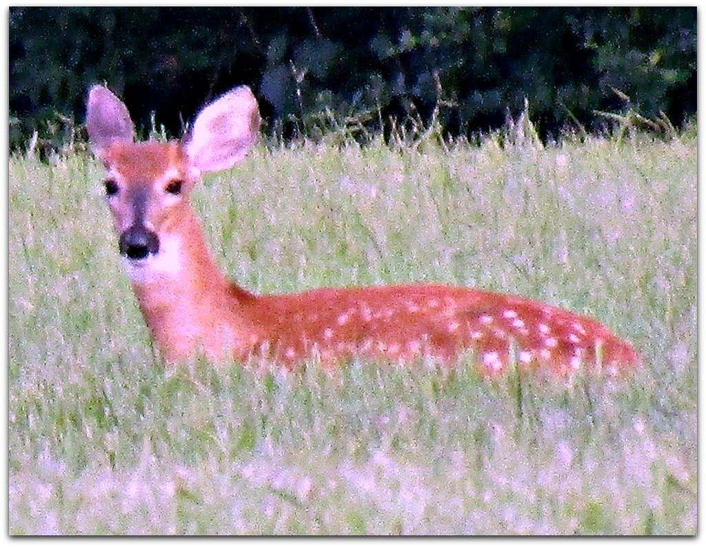 Fawn In The Grass by moviegal1