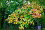 20th Oct 2020 - Autumn Colour