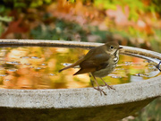 17th Oct 2020 - Wood Thrush