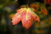 18th Oct 2020 - Single Leaf