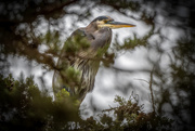 20th Oct 2020 - Great Blue Heron