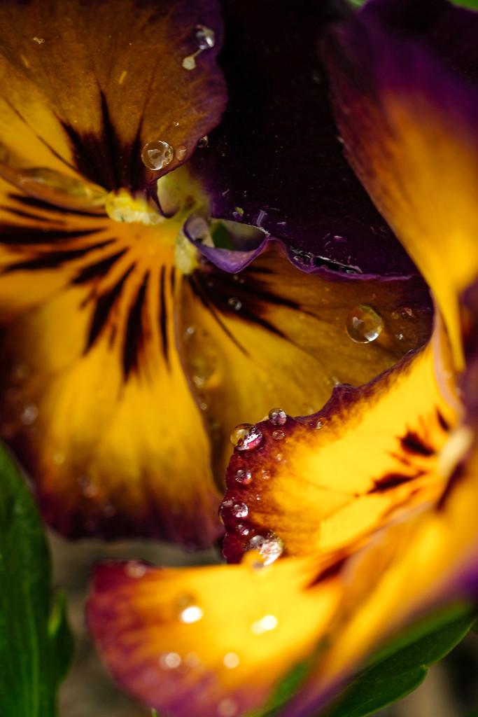 Drops on pansies by maureenpp