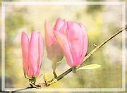 21st Oct 2020 - Magnolias in watercolour