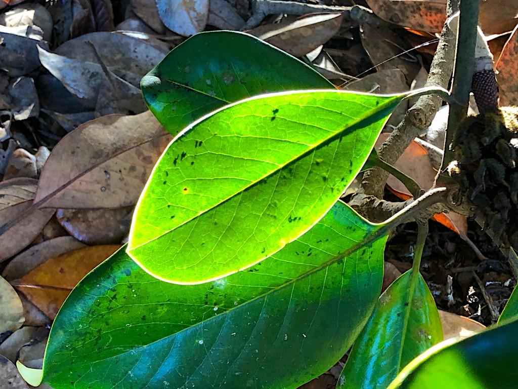 Illuminated leaf by congaree