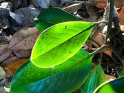 21st Oct 2020 - Illuminated leaf