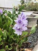 21st Oct 2020 - Water hyacinth