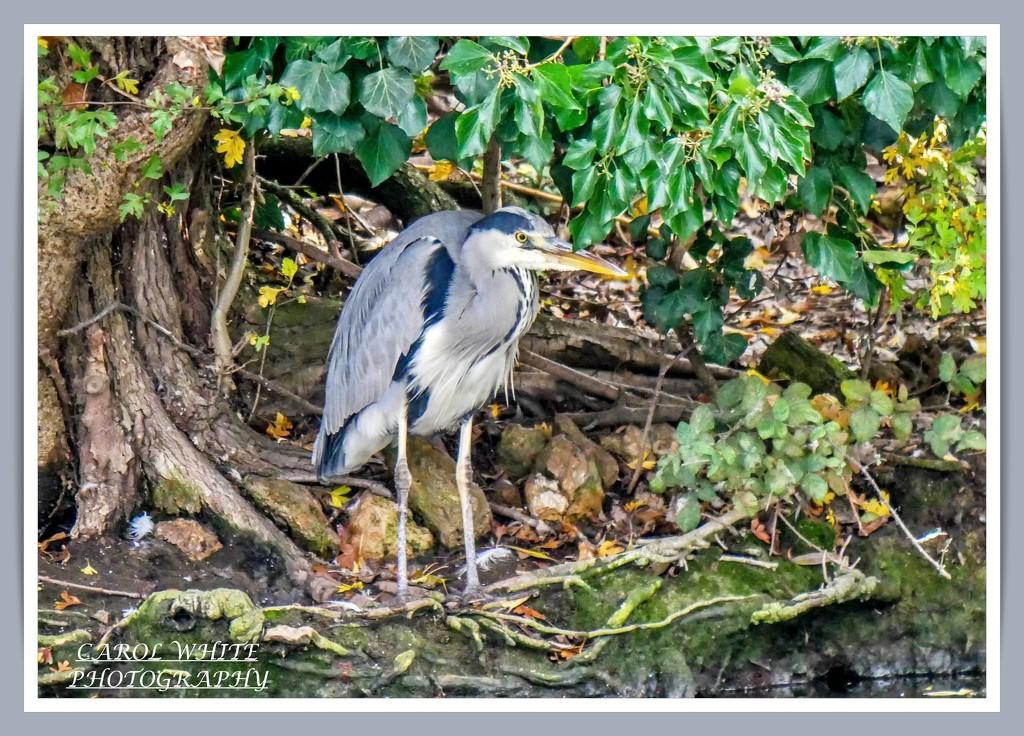 Grey Heron by carolmw