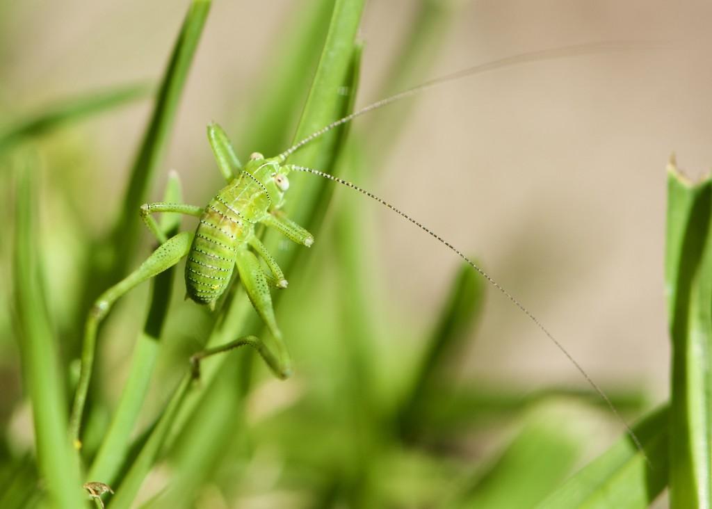 Hiding On A Stalk Of Grass.... DSC_4142 by merrelyn