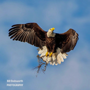 21st Oct 2020 - There be eagles! Bald Eagle, one of my favorites to capture!