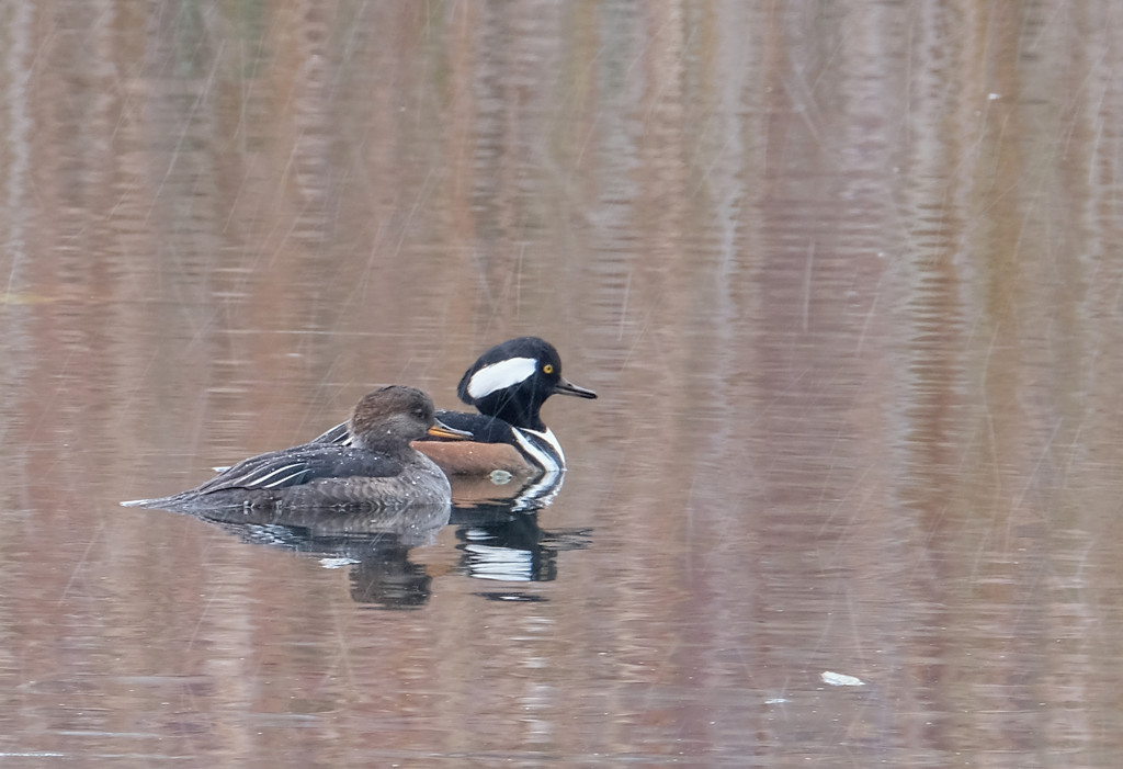 Hooded Mergansers ii by tosee